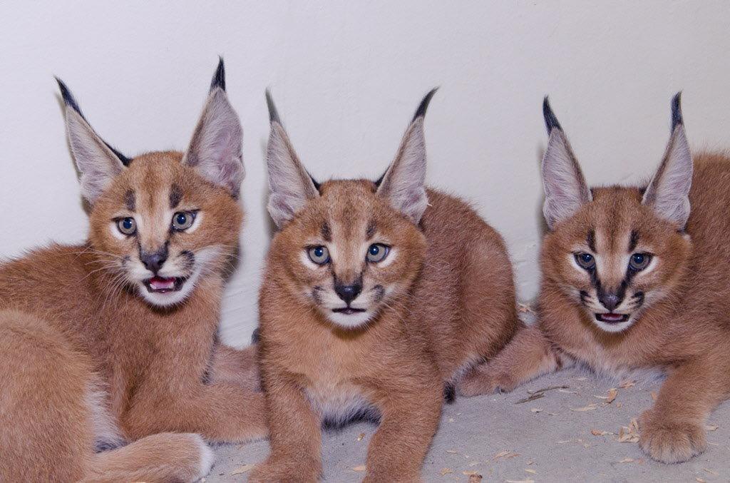 Prije nekoliko godina u Americi je ostvareno prvo uspješno križanje Caracala i Abesinske mačke. Hibridi su registrirani kao eksperimentalna pasmina u TICA. Pasmina nosi naziv Caracat.