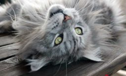 Argent Maine Coon Stars