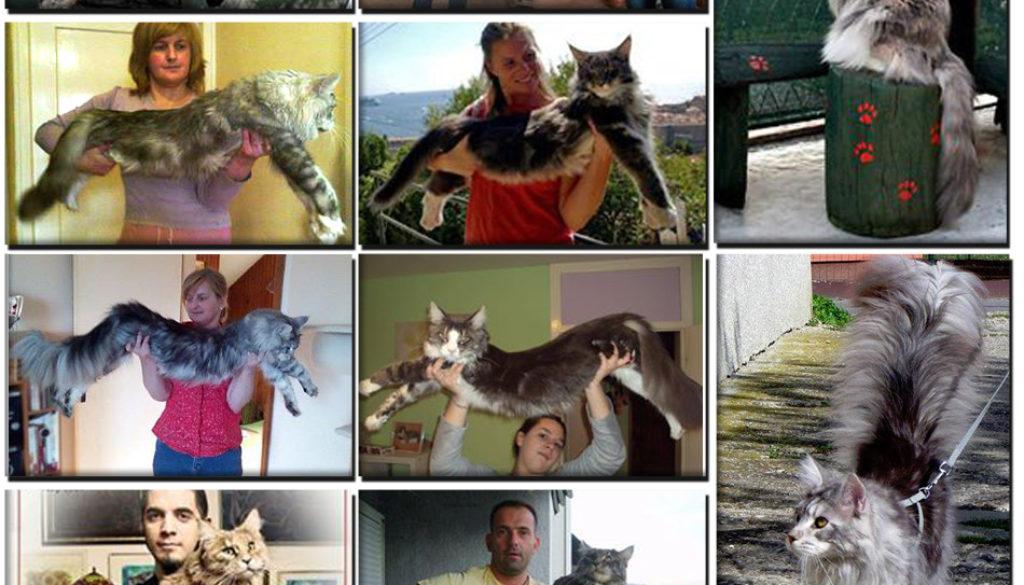 Težina Maine Coon mačke